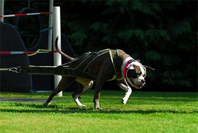 amerikaanse bulldog1